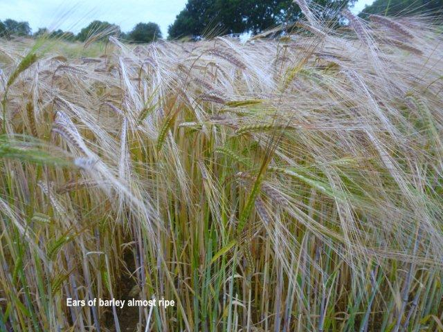 ripe-barley.jpg